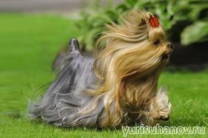 Породы собак. Йоркширский терьер в движении | Блог кинолога Юрия Суханова