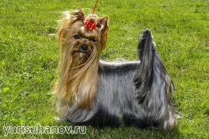 Породы собак. Йоркширский терьер в стойке