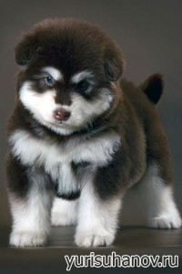 Породы собак. Щенок Аляскинского маламута