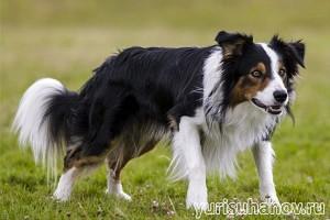 Породы собак. Бордер колли  | Блог кинолога Юрия Суханова