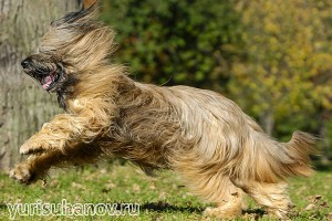 Породы собак. Бриар в движении