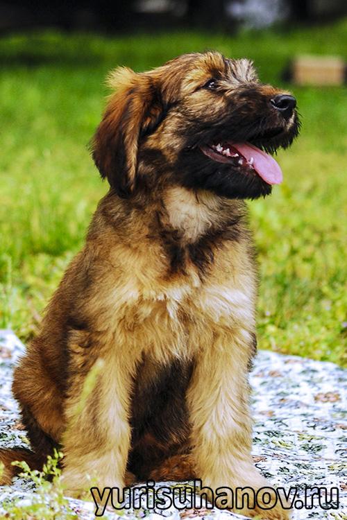 Породы собак. Бриар щенок