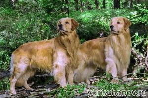 Породы собак. Золотистые ретриверы на прогулке