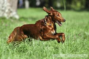 Породы собак. Ирландский сеттер в движении