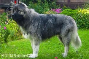 Породы собак. Кавказская овчарка