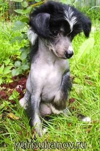 Породы собак. Китайская хохлатая щенок