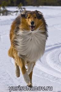 Породы собак. Колли в движении