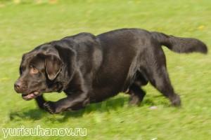 Породы собак. Лабрадор ретривер в движении