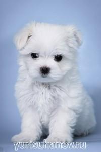 Породы собак. Мальтийская болонка щенок