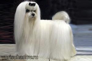 Породы собак. Мальтийская болонка
