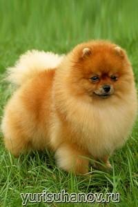 Породы собак. Карликовый шпиц