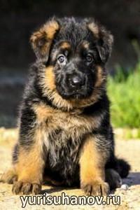 Породы собак. Немецкая овчарка щенок   Блог кинолога Юрия Суханова