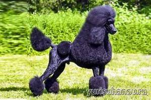 Породы собак. Королевский пудель