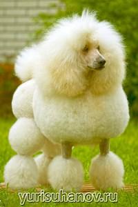 Породы собак. Пудель