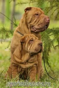 Породы собак. Шарпей со щенком