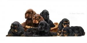Выбор породы собаки, спаниель