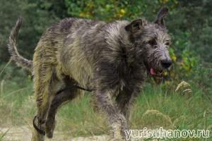 Породы собак. Ирландский волкодав